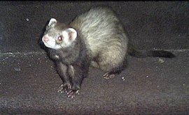 ferret-stash-3b-bg